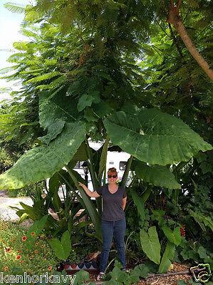 Goliath Giant Elephant Ear Live Plant Cutting Root Xanthosoma