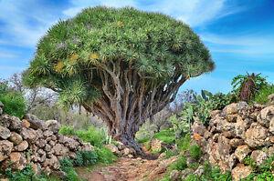 Zimmerpflanze-Samen-Raritaet-seltene-Pflanzen-schnellwuechsig-DRACHENBAUM