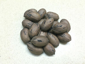 ПЕКАН Carya Illinoinensis Pecan 10 or 50 seeds harvest November 2020 – 5