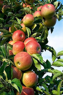 170 cm im Container Apfelbaum Apfel /'Alkmene/' Malus Halbstamm ca