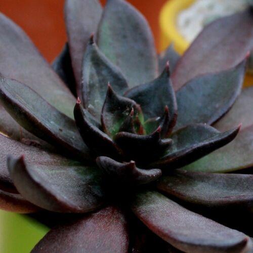 Echeveria /'Black Prince/'