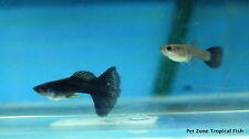 Black Moscow Guppy, 2 Pairs of M/F - Show Guppies, Livebearer Tropical Fish