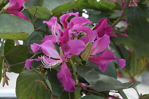 10 SEEDS FREE S&H BUTTERFLY ORCHID TREE Bauhinia Purpurea