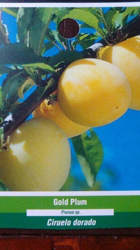 Árbol de fruta oro Ciruela mejor nuevo saludable Árboles Natural ciruelas planta inicio Jardín