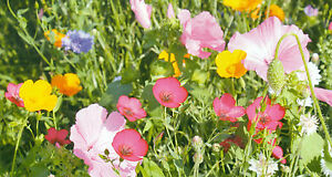 Colour Splash Flower Seed Mix 10 gms Honey Bee'
