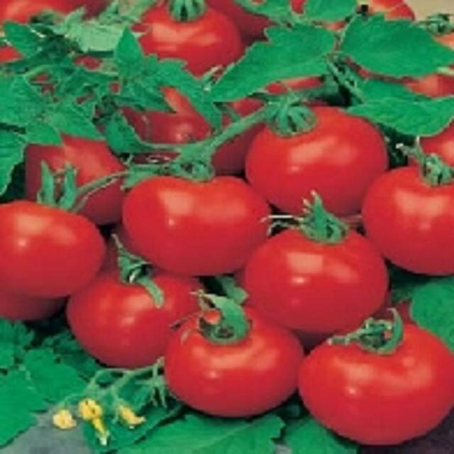 TOMATO F1 SHIRLEY GREENHOUSE CROPS 10 to 100 seed MULTIPLE LISTING FREEPOST