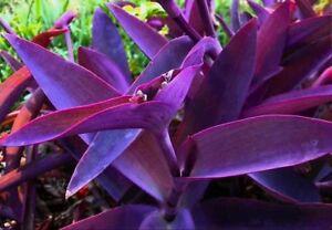 Tradescantia-pallida-Purple-Heart-Plant-out-indoor-Purple-Wandering-Jew