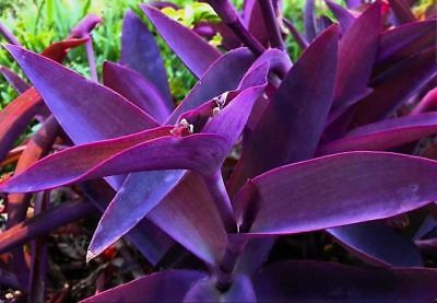 Tradescantia Pallida Purple Heart Plant Out Indoor Purple