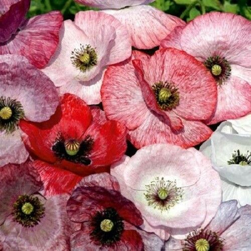 100 MOTHER OF PEARL POPPY MIX Papaver Rhoeas Flower Seeds Mixed Colors *Comb S/H