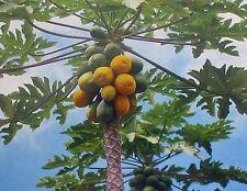 HAWAIIAN PAPAYA FRUIT SEEDS ~ GROW HAWAII