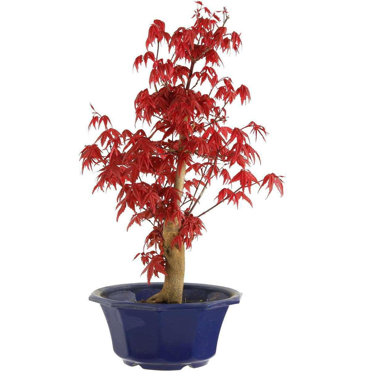Deshojo Maple, Bonsai, 9 years, 41cm (091-16)