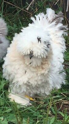 Silkie Frizzle NPIP And Showgirl Hatching Eggs Details about  /12 QUALITY Silkie Satin