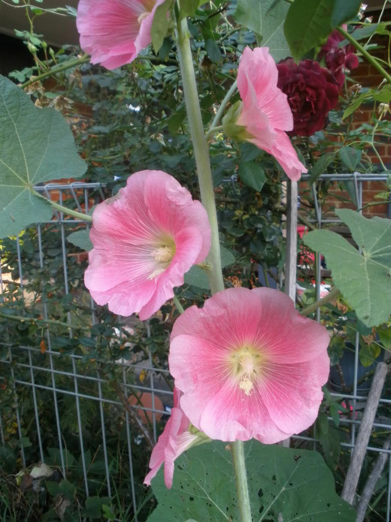 Hollyhock Apple Blossom Pink Flower 40 Seeds