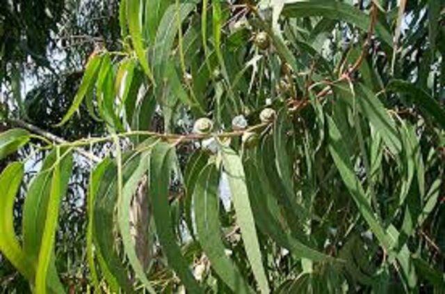 Eucalyptus Globulus Essential Oil 100% Pure&Natural Undiluted up 2  16oz 5-10%off