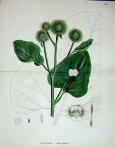 Original-Old-Antique-Print-1902-Botany-Colour-Greater-Burdock-Plant-Damaged
