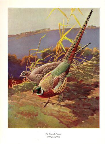 "1957 Vintage FRANCIS LEE JAQUES /""RINGNECK PHEASANT/"" Color Art HUNTING Lithograph"