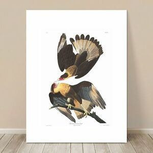 "FAMOUS BIRD ART ~ CANVAS PRINT  8x12"" ~ JOHN AUDUBON ~ Caracara Eagle"