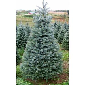 Image Is Loading Blue Spruce Picea Pungens Glauca 50 Seeds Fabulous