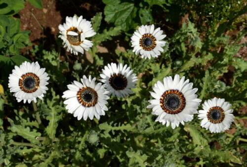 Graines Venidium Lush Mix fleur annuelle Balcon Jardin Intérieur Coupe Organic Ukraine
