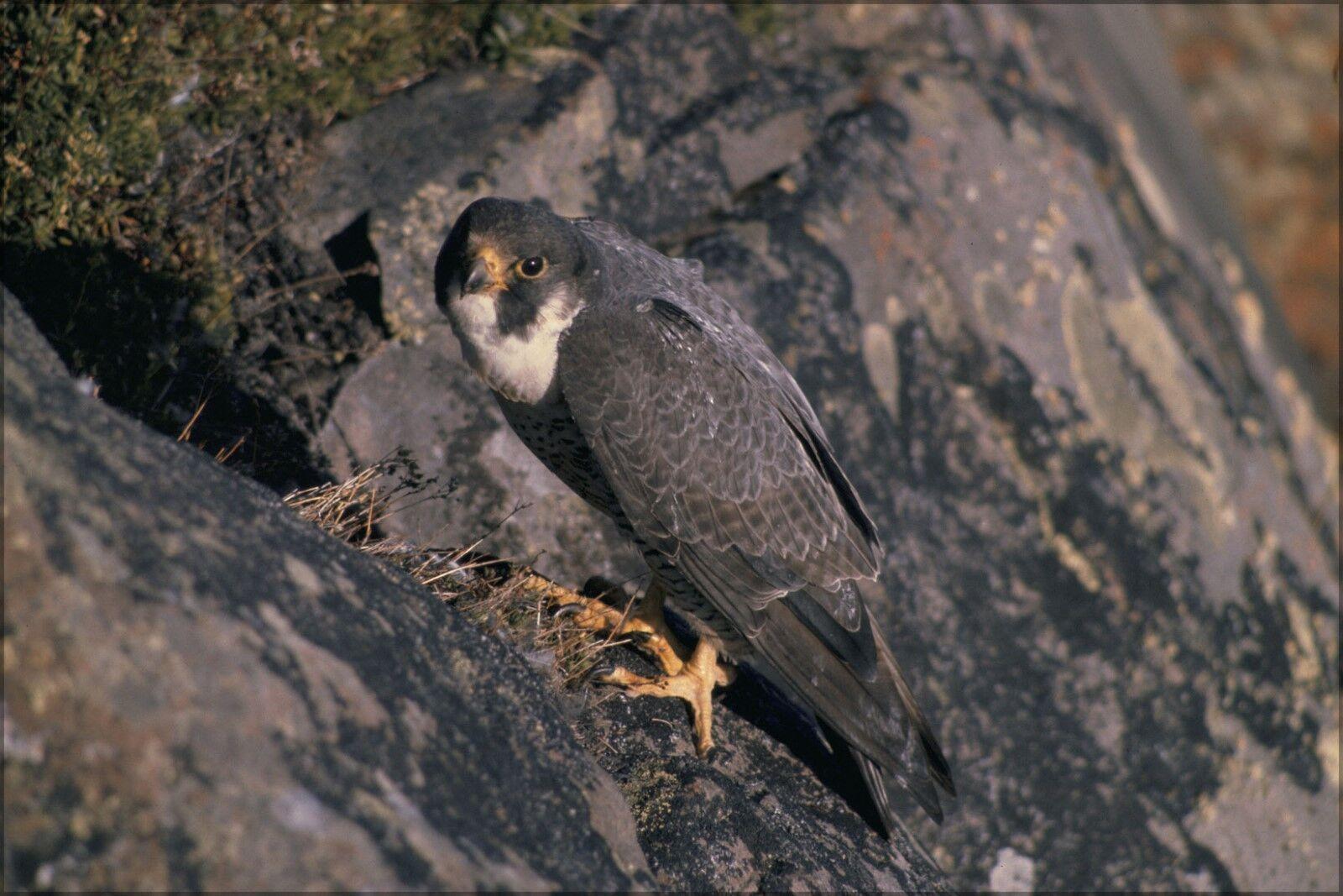 Poster, Many Größes; Falco Peregrinus Tundrius At Nest, Alaska