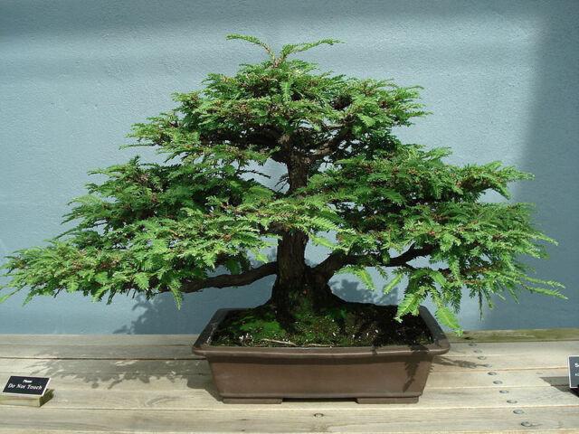 Sequoia sempervirens - Coast Redwood -  Seeds
