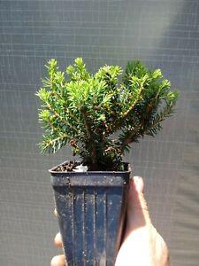 Picea Abies Nidiformis Bird S Nest Spruce Plant Ebay
