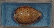 Cypraea Turdus Foedata 23mm Muscat, Gulf of Oman Low Tide on Reefs