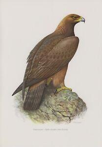 En Herbe Pierre Aigle Aquila Chrysaetos Préhension Oiseau Aigle Impression Couleur 1958 Ornithologie-afficher Le Titre D'origine Diversifié Dans L'Emballage
