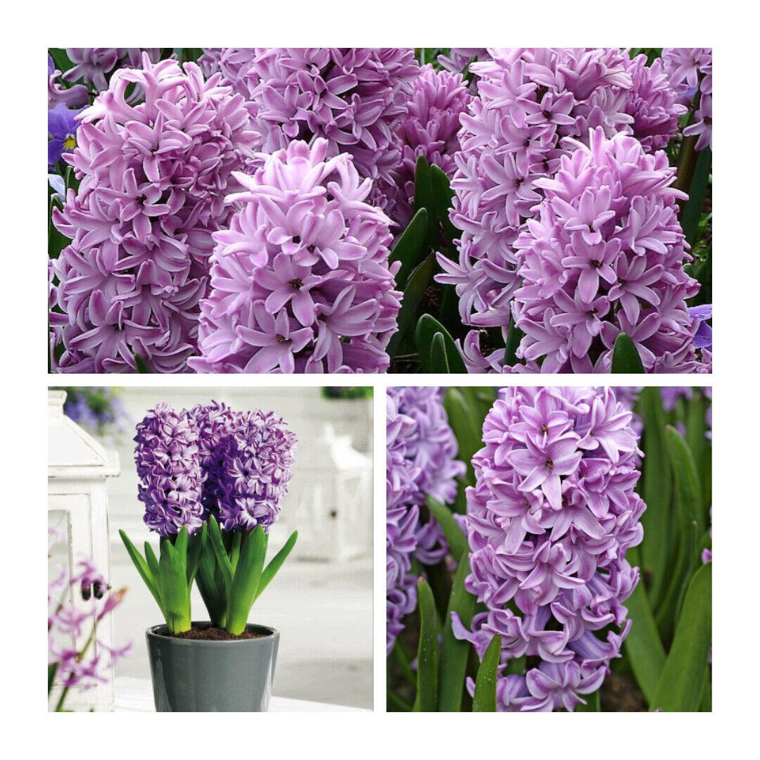 Splendid Cornelia Hyacinth x 5 Flower Bulbs. Indoor/Outdoor Highly Scented