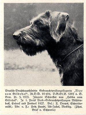 Nixe Vom Gildehof Deutsch-drahthaarhündin Jagdhunde & Züchter 1930-40 Modischer (In) Stil;