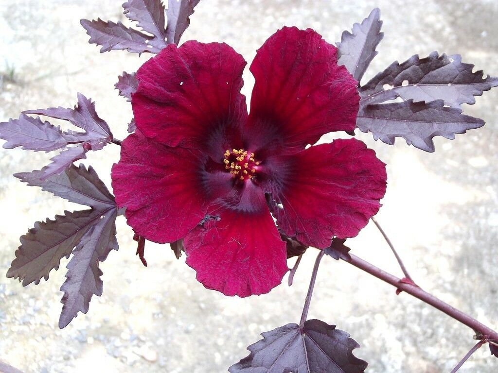 Hibiscus acetosella rare cranberry false roselle medicinal edible resntentobalflowflowcomponenttechnicalissues izmirmasajfo