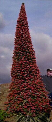 Roter Riesen-Natternkopf ♪ Sukkulenter Blumengigant von Teneriffa ♪ Saatgut ♪ .