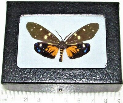 REAL FRAMED DAY FLYING MOTH BLUE GREEN ALCIDES VERSO INDONESIA