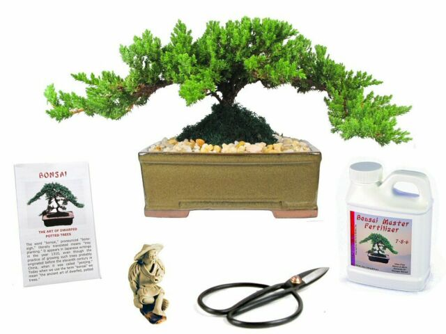 The Besr Gift Brussel S Bonsai Japanese Weeping Willow New For Sale Online Ebay