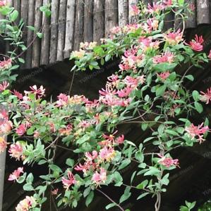 200-Pcs-Graines-Chevrefeuille-Bonsai-jinyinhua-plantes-de-jardin-Lonicera-Japonica-Nouveau-Q