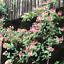 200-Pcs-Graines-Chevrefeuille-Bonsai-jinyinhua-plantes-de-jardin-Lonicera-Japonica-Nouveau-Q miniature 1