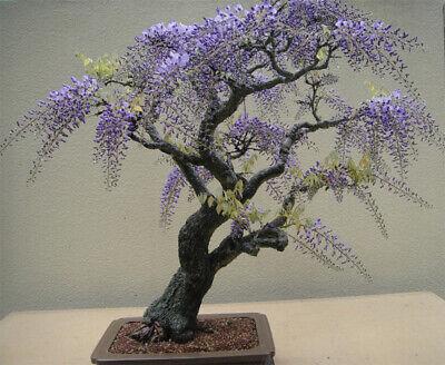 Tree JACARANDA mimosifolia 60 Bonsai seeds #11018 SOW ALL YEAR