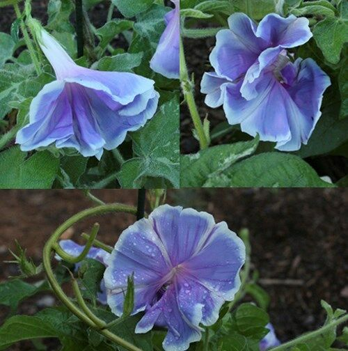 Japanese Morning Glory-FUJI NO SORA-Beautifu Bloomsl-10 seeds-2013