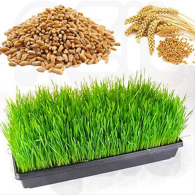 Bulk Premium Wheat Grass Seeds - 1kg - 15kg - Human Health Juicing Sprouting
