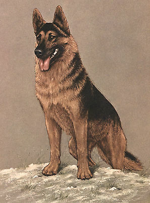 German Shepherd Old Dog Food Advert On