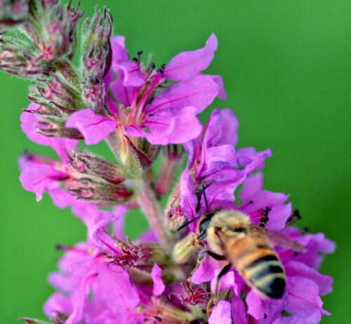 2 x Lythrum Salicaria Robin Salicaire Clay sel tolérante humide Bee pollinisateur