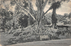 R309390 Giant Rubber Tree. Peradeniya Ceylon. John and Co Ceylon