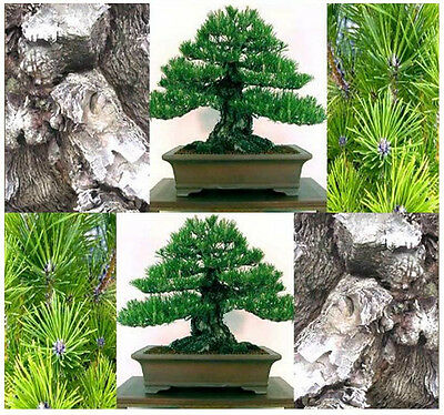 BULK MIKAWA Black Pine Tree Seeds Japanese Bonsai Pinus thunbergii Mikawa DEEP F