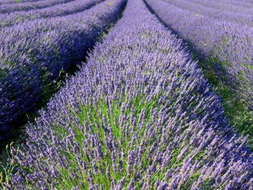 NEW SEASON Dried French Lavender Flower Buds Fragrance 5kg