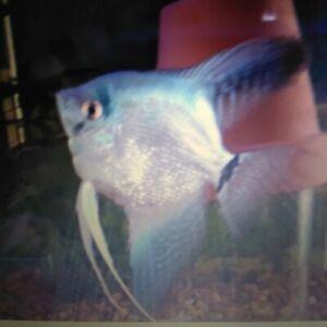 2 PH Blue Pearlscale Angelfish Silver Dollar Size. | eBay
