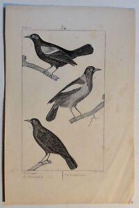 Trupiale-Troupiale-Voegel-antik-Steindruck-um-1800-Buffon