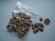100 piccole conchiglie di mare nero UMBONIUM CONCHIGLIE Craft Nozze Beach TAVOLA cofetti
