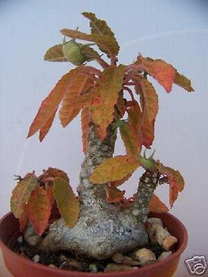 Dorstenia Foetida @J@ exotic rare succulents caudex bonsai cactus seed 100 SEEDS