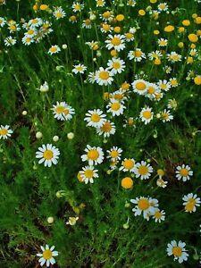 1500-Samen-Chamaemelum-nobilis-Roemische-Kamille
