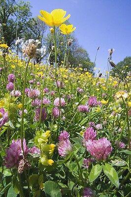 British Wild Flower -  Clay Soil Flower Mix - ( No Grass ) - 50g Seed - Bulk
